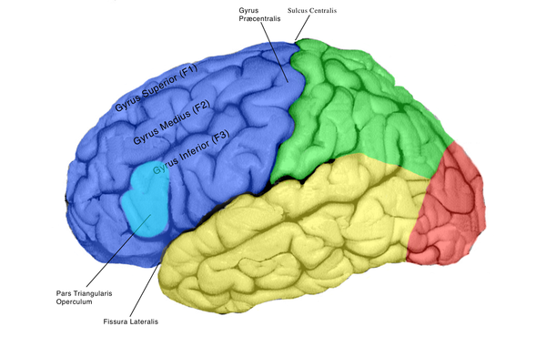 hvornår er hjernen fuldt udviklet